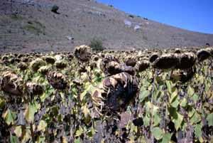 Habrá una superficie similar de girasol en Castilla y León similar al año pasado